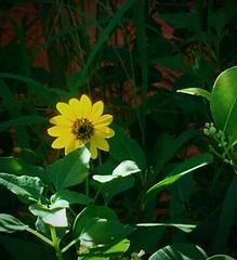 Yellow from Sidewalk (LarryJay99 ) Tags: plants flora green foliage yellow flower yellowflower leaves greenery urbannature lakeworthbeach florida