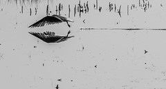 The silent flight (xrayman.dd) Tags: gull marsh