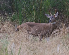Black-tailed Buck 7340