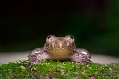 Staring into space.... (Moving Iris) Tags: frog amphibians amphibiansofindia amphibian frogsofindia herpetofauna herps herping wildherps naturephotography nature nikonherping nikonmacro nikond500 nikkor105f28