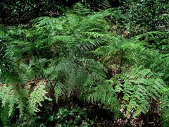 Pteris tremula 2 (mncbirds) Tags: the blue mountains national park nsw australia aushp barry m ralley barrymralley pteris tremula tender brake