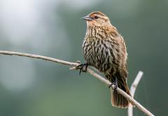 Red-winged Blackbird (Eric_Z) Tags: redwingedblackbird blackbird colonyfarmregionalpark coquitlam britishcolumbia canada canoneos7dmkii ef100400mmf4556lisiiusm