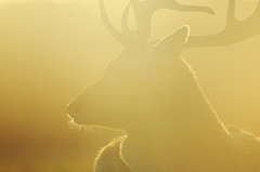 Golden Buck (andy_AHG) Tags: wildlife autumn stag fallowdeerbuck antlers animals nikond300s yorkshire ruttingseason