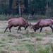 In the heat of the elk rut