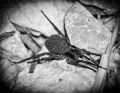 Ten Thousand Eyes (Tracey Rennie) Tags: spider belize babies hss shocktober monochrome chanchichlodge jungle gallonjug babiesonherback