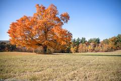 Secret Tree (Brian M Hale) Tags: secret tree west boylston ma mass massachusetts newengland usa foliage fall autumn outside outdoors brian hale brianhalephoto leaves lone