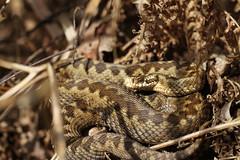 Adder. (ChristianMoss) Tags: adder snake reptile vipera berus