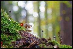 Mushrooms (tingel79) Tags: mushroom pilze tingelpixx forest minimal wald moos natur nature nationalpark outdoor germany bokeh baum tree müritznationalpark photograph photography view green landschaft landscape licht lumen autumn herbst fotografie macro makro sonya6500 fe90mmf28marcogoss