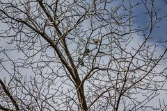 Three In The Tree (davidseibold) Tags: america animal bakersfield bird california hartpark jfflickr kerncounty photosbydavid postedonflickr unitedstates usa wildlife unitedstatesofamerica