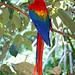 Brazil-00689 - Macaw