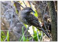 Little WattleBird (Bear Dale) Tags: little wattlebird scientific name anthochaera chrysoptera nikkor afs 200500mm f56e ed vr ulladulla southcoast new south wales shoalhaven australia beardale lakeconjola fotoworx milton nsw nikond850 photography framed nature nikon bear d850 bird naturephotography naturaleza