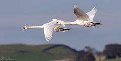 Mutes on the wing (Steve (Hooky) Waddingham) Tags: animal countryside coast canon bird british flight nature northumberland wild wildlife white swan mute photography planet ngc