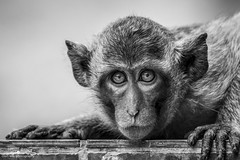Eye contact (www.ownwayphotography.com) Tags: wildlife wild black nature monkey primate cute young zoo looking animal ape white portrait baby jungle tree mammal endangered forest male closeup face isolated africa redfaced adorable creature nopeople