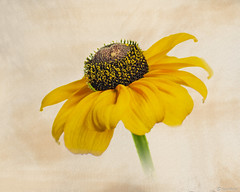 Rudbeckia (Ken Mickel) Tags: beautiful floral flower flowers gloriosadaisy highkeyphotography kenmickelphotography plants rudbeckia texture textured whitebackground blossoms botanical closeup nature photography