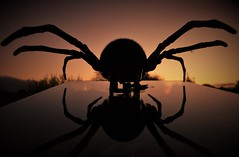 Fake and Reflected..x (Lisa@Lethen) Tags: macromondays fake spider plastic reflection sunrise morning weather glass silhouette halloween arachtober