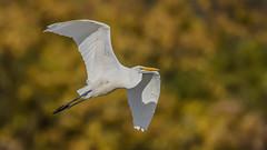 Egret  9230 (Paul McGoveran) Tags: bif bird birdinflight egret hendrievalley nature nikon500mmf4 nikond850 wings coth5 ngc