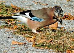 Eurasian Jay, Garrulus glandarius (asterisktom) Tags: trip2019easterneurope 2019 bulgaria october plovdiv bird vogel ave 鸟 птица 鳥 pajaro eurasianjay garrulusglandarius jay