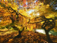 Dancing trees of gold! (Nina_Ali) Tags: nature gold leaves backlight backlit autumn yellow trees leicester autumnsunshine silhouettes art naturesart autumnal vibrant dancingtrees thedanceofautumn