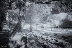 EALING 112 (Nigel Bewley) Tags: walpolepark ealing london england uk unlimitedphotos nigelbewley photologo october october2019 canonef1635mmf28liiusm canon5dmkii 830nm infrared digitalinfrared advancedcameraservices blackandwhite blackwhite creativephotography artphotography amateurphotographer appicoftheweek