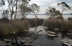 Neranie inlet (OzzRod) Tags: pentax k1 smcpentaxm40mmf28 logs trees reeds rushes pond lake paperbarks neranie myalllakesnp nsw australia