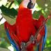 Brazil-00690 - Macaw