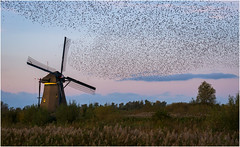 A sky full of starlings at Kinderdijk (Rob Schop) Tags: starlings kinderdijk sunset tele sony70200fe handheld continuesshooting sonya6000 zuidholland birds windmill nofilters specialmoments