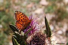 Chardon et papillon (jacky.dartier) Tags: insecte papillon