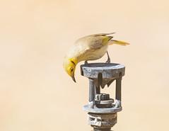 Yellow-tinted Honeyeater (christinaport) Tags: yellowtintedhoneyeater honeyeater timbercreek nt australia bird birds wild free