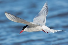 Arctic Tern (Phil Gower Bird Photography) Tags: arctic tern bird ornithology wildlife nature