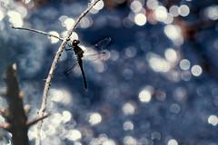 20190827_135c (novofotoo) Tags: heidelibelle insekten libelle natur reflexion schwarzeheidelibelle segellibellen sympetrumdanae tiere wasser animals dragonflies insects mirror water