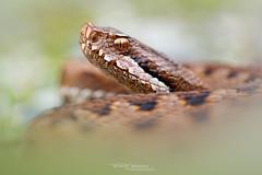 Asp viper, Vipera aspis zinnikeri (Matthieu Berroneau) Tags: sony alpha macro nature france gironde herpéto wildlife animal animaux ff 24x36 full frame a7iii 7iii 7mk3 sonyilce7m3 herping herpeto reptile reptilian reptilia serpent serpente snake serpentes snakes serpiente vipera field herp vipère aspic asp vibora aspid subspecies zinniker пепелянка aspis sugegorria venin venimeux venimous venon venomous poisonous serpents aspics zinnikeri vipèreaspic viperaaspiszinnikeri aspviper viperaaspis sonya7iii sonya7mk3 sonyalpha7mark3 sonyalpha7iii 90 28 fe f28 g oss fe90f28macrogoss sonyfesonyfe2890macrogoss objectifsony90mmf28macrofe sel90m28g bordeaux
