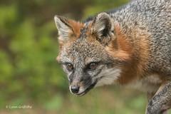 Gray Fox 502_2035.jpg (Mobile Lynn) Tags: nature landmammals fox grayfox fauna greyfox mammal mammals urocyoncinereoargenteus wildlife gray maine unitedstatesofamerica coth specanimal sunrays5 coth5 ngc