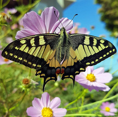 Still summer (Ioannis Ks) Tags: butterfly cosmos flowers garden plant autumn nature crete ngc