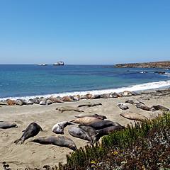 Piedras Blancas, California, USA (pom'.) Tags: samsungsmg970f samsunggalaxys10e piedrasblancaselephantsealrookery piedrasblancas elephantseal rookery usa ca california pacificocean beach sea ocean mirounga éléphantdemer phocidae hearstcastle sansimeon californiastateroute1 pacificcoasthighway pchdrive cabrillohighway shorelinehighway usroute101 5000