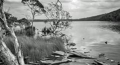 Neranie on Myall (OzzRod) Tags: pentax k1 smcpentaxm40mmf28 landscape blackandwhite monochrome lake trees shoreline vegetation myalllakesnp neranie dailyinoctober2019