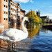 Worcester - River Severn in flood - October 2019 - swan paddling