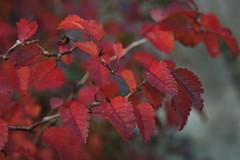 Miniature Japanese Cherry Blossom Bringing Stunning Autumnla Colour to my Garden (janpaulkelly) Tags: red autumn dublin ireland nature garden gardens trees shrubs miniature outside 4autumn ncg