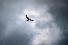 a cormorant in flight in a dramatic sky (Franck Zumella) Tags: cormorant cormoran oiseau bird black noir sky blue ciel bleu cloud white nuage blanc nature composition fast fly flying vol voler rapide sony a7r a7 tamron 150600 dramatic
