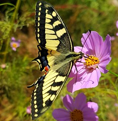 Vertical pose (Ioannis Ks) Tags: butterfly cosmos flower plant garden autumn crete nature