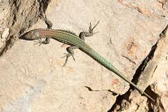 Catalonian Wall Lizard (Podarcis liolepis) (Sky and Yak) Tags: catalonian wall lizard podarcis liolepis reptile spain