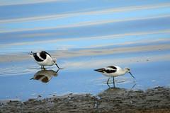 a fun morning (Dianne M.) Tags: avocet nature lake flies reflections blue utah