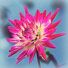 Spiky (Eleanor (New account))) Tags: flower dhalia pinkflower lakeside haylingisland uk nikond7100 october2019 ngc