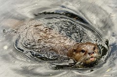 In a ring of not so bright water. (Andreadm66) Tags: swimming wildlife nature animal otter