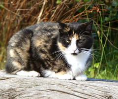 With the sun in her eyes (cats_in_blue) Tags: cat cats fanø nordby