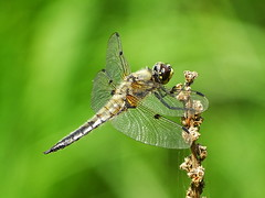 Four-spotted Skimmer - Vierfleck (anne.w.51) Tags: dragonflies