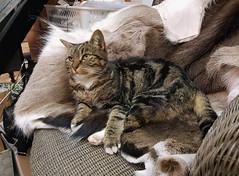 Kunstladen has got a new cat owner (cats_in_blue) Tags: cat cats fanø rindby kunstladen missie
