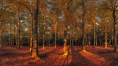 Autumn Sun (Catchavista) Tags: autumn autumnal fall trees woods forest woodland sun sky blue crimson gold colours treescape landscape park naturereserve nature season meditation relaxation wellbeing trunk branches leaves