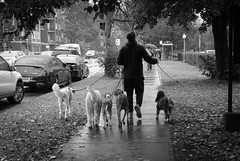 Montreal (Richard Pilon) Tags: candid bw dogs montreal fujinon35mmf2 street dogwalker streetphotography urbanphotography fujifilm blackandwhitephotography fujixt3