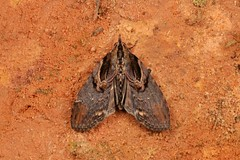 Moth, unidentified (John Horstman (itchydogimages, SINOBUG)) Tags: insect macro china yunnan itchydogimages sinobug entomology canon moth lepidoptera unidentified brown fbipm tumblr