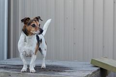 Week 3 (jessicajoy2) Tags: buster week3 12yearsold spring dog jackrussell 2019